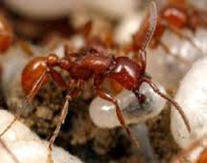 Amazing Pictures of Animals, Photo, Nature, Incredibel, Funny, Zoo, Ecitoninae, New World Army Ants, Alex (4)