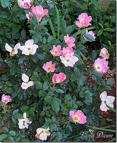 Rose_Rainbow_Knockout_May19