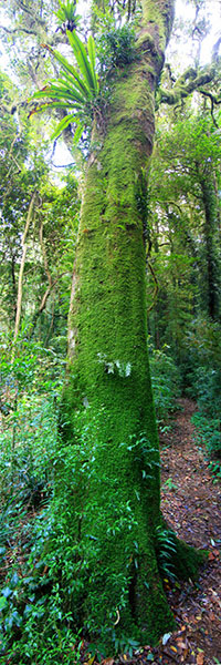 A mossy tree, Lamington National Park