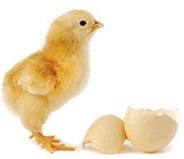chicken-or-egg-first-hindi