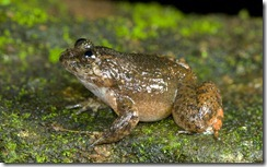 PERIYAR NIGHT FROG- Nyctibatrachus periyari