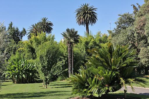 Mature sago palm at Capitol Park in Sacramento.
