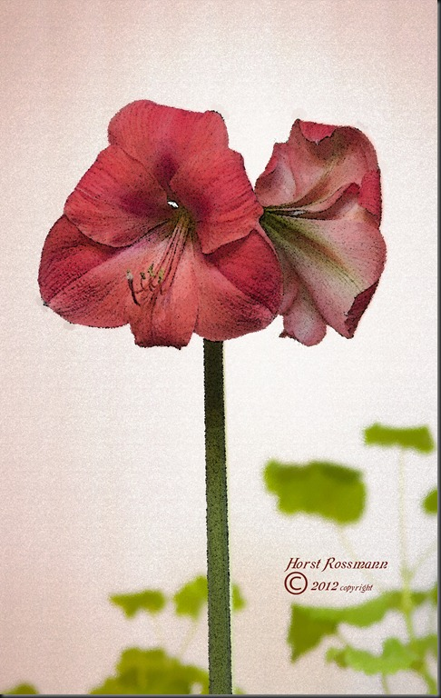 Tall amaryllis copy
