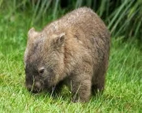Amazing Pictures of Animals, Photo, Nature, Incredibel, Funny, Zoo, Common wombat, Vombatus ursinus, Marsupial, Mammals, Alex (18)