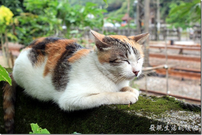 平溪線一日遊-侯硐貓村。這樣也能睡!只能說貓的平衡感真的很好。