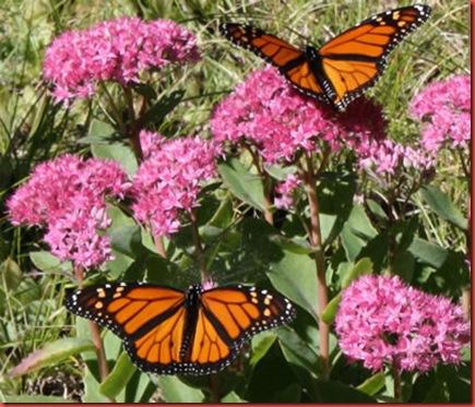 butterfly47