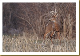 - White-tailed Deer -Buck- motionROT_4990 January 29, 2012 NIKON D3S