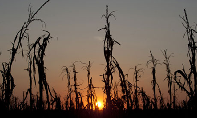 Drought-withered corn stalks in Indiana, August 2012. Saul Loeb / AFP / Getty Images