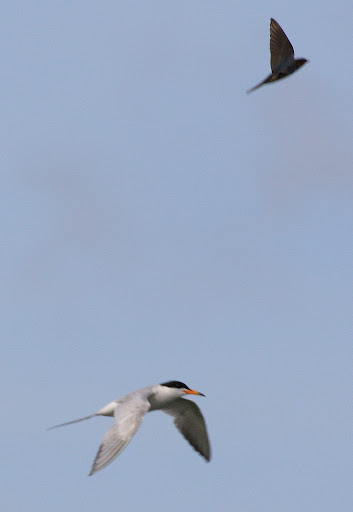 7-26-09, Forster's Tern attacked by Barn Swallow