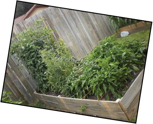 Pepper, Jalapeno, Tomatillo, Tomato Garden