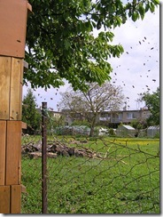 Rojení  a velikost včelstva 009