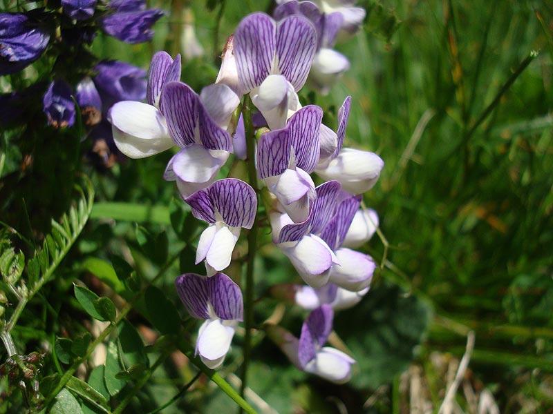 Astragalus alpinus 00