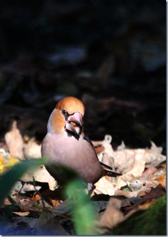 hawfinch