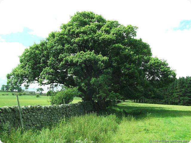 fawnlees veteran oak