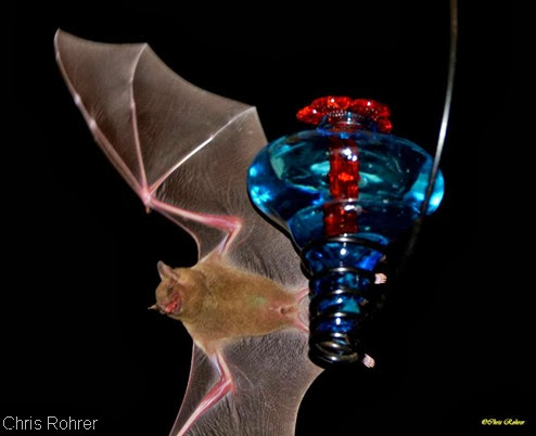 Chris Rohrer Bat photo