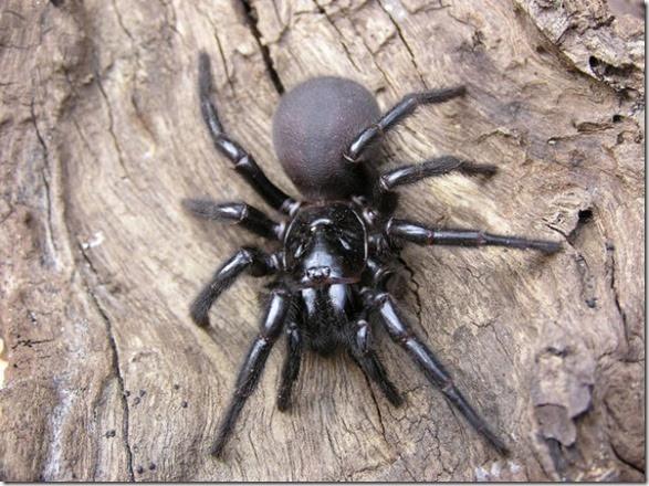 australia-scary-spiders-002