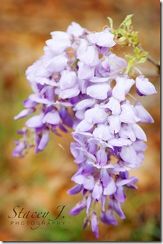 lilacs 002 copy