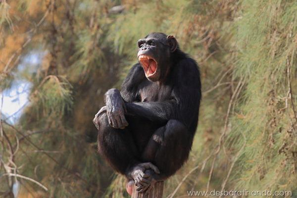 animais-bocejando-bocejar-desbaratinando (19)