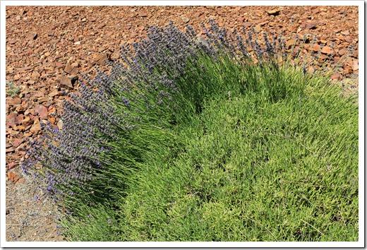 120720_mt_shasta_lavender_farm_038