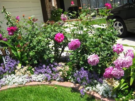 Розы-на-клумбе-во-дворе