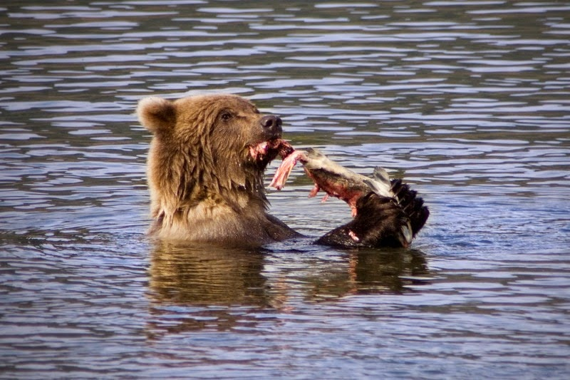 brooks-falls-bears-9