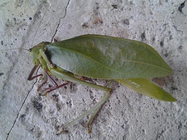 Leaf Mimicking Katydid 01
