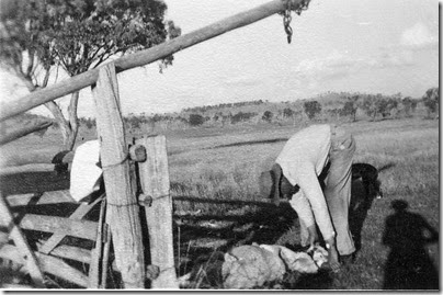 Ron butchering sheep, Glenroy
