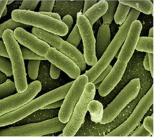Pengertian bakteri