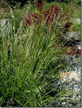 Deschampsia 'Pixie Fountain'