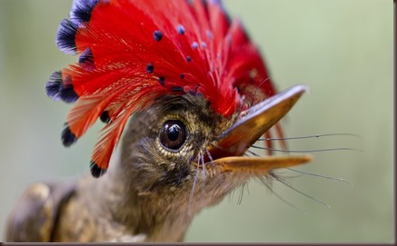 Amazing Animal Pictures Amazonian Royal Flycatcher (1)