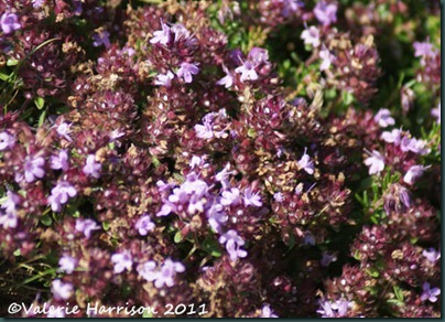 14-wild-thyme