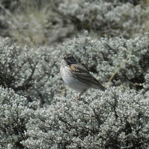 Vesper.sparrow.dscn2361