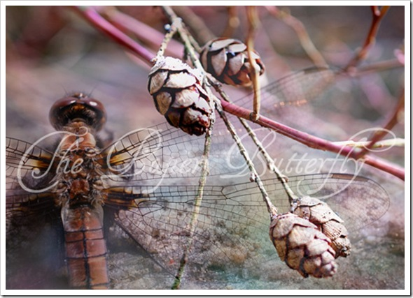 Dragonfly Pinecone 57 WM