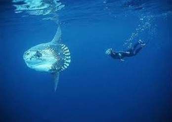 Amazing Pictures of Animals, photo, Nature, exotic, funny, incredibel, Zoo, ocean sunfish, Mola mola, or common mola, Alex (4)
