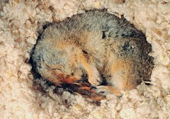 Hibernating Arctic Ground Squirrel
