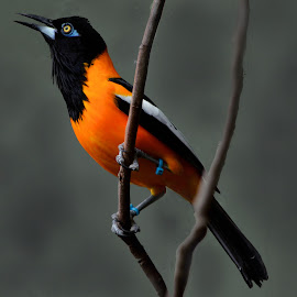 Venezuelan Troupial by Lee Ewing - Animals Birds ( venezuela, animals, nature, birds, photography )