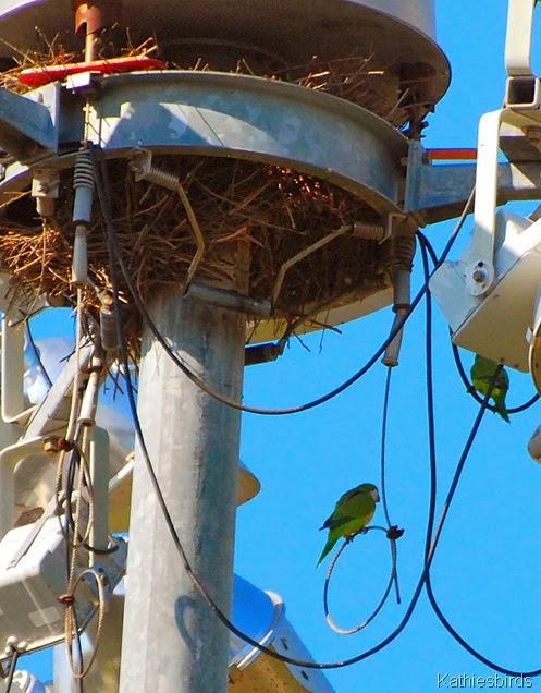 2. parakeet nest-kab