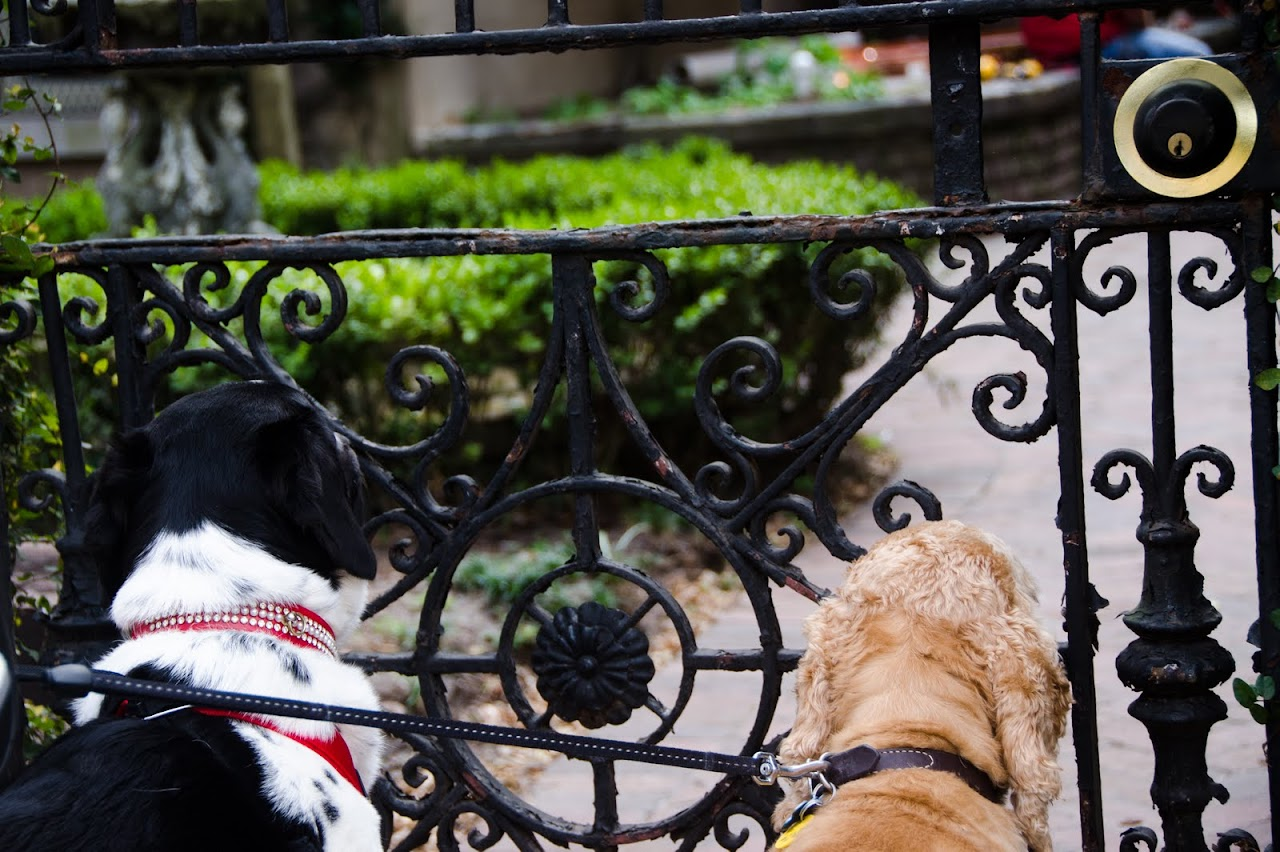 Dogs staring at Savannah gate