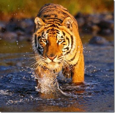 tigre 2013