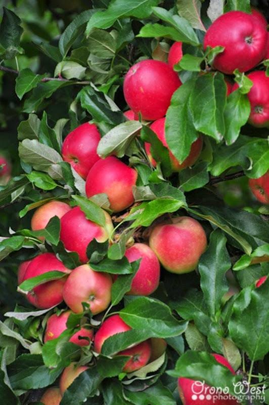 apple_picking3LROW