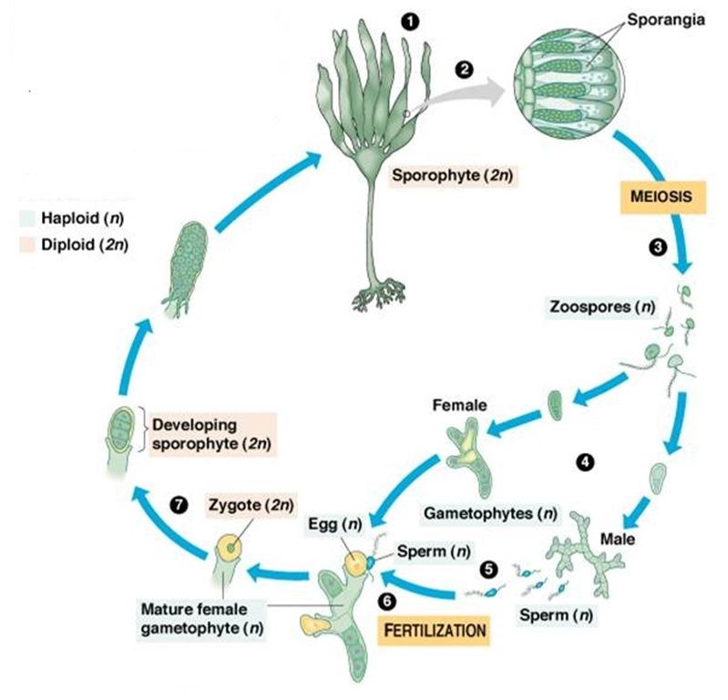 heteromorphic diplohaplontic type