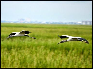 02c - birds - Wood Storks