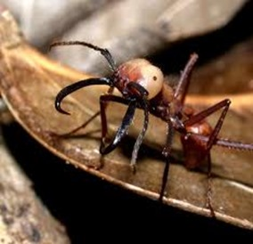 Amazing Pictures of Animals, Photo, Nature, Incredibel, Funny, Zoo, Ecitoninae, New World Army Ants, Alex (11)