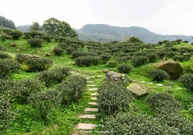 三峽熊空茶園 (9)