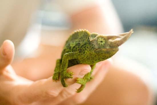 1chameleon