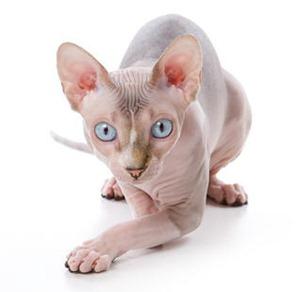 gato-esfinge1b