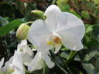 The white Phalaenopsis, also known as the moth orchid, is one of the most common varieties.  But, in the mid-1800s, orchid collectors paid huge sums for this flower, as it was very rare at that time.