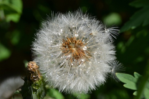 Dandelion clock - showing the pappus and achenes