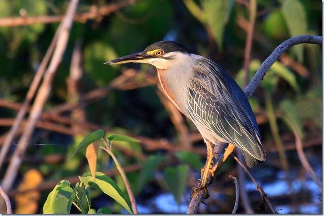 Pantanal_Herons-6