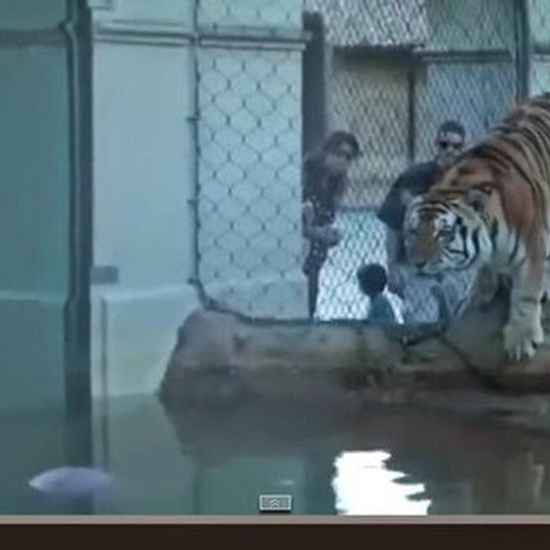 Μη  γυρίσετε ποτε  την πλάτη σας σε ένα Τιγρη